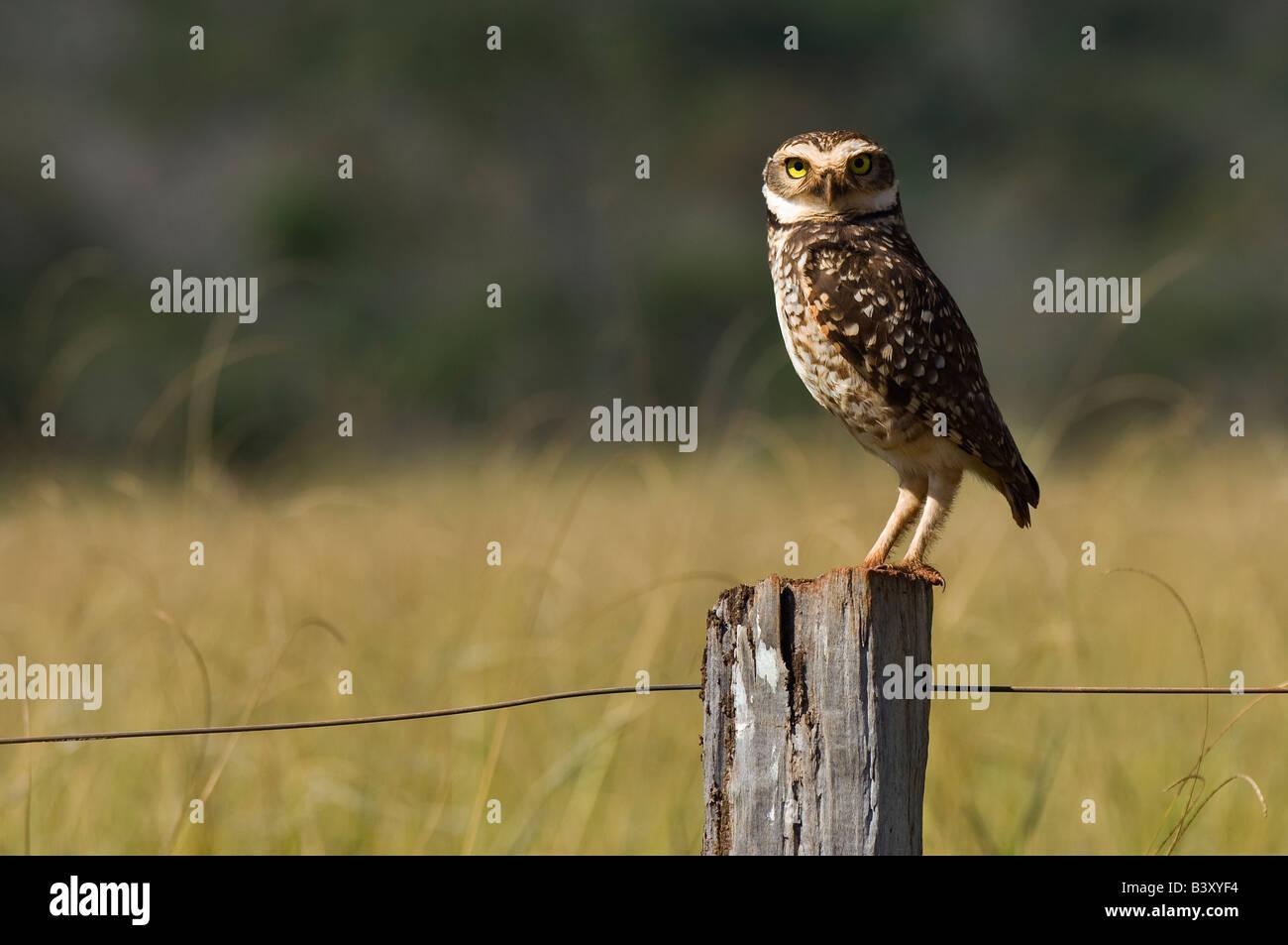 Scavando Owl Athene cunicularia fotografato nel Mato Grosso do Sul in Brasile Immagini Stock