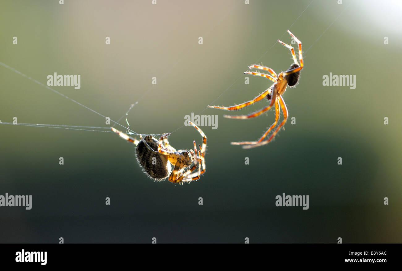 Due Ragni Giardino Araneus diadematus o diadema spider chiamato anche la croce spider in Europa Orientale eseguire Immagini Stock