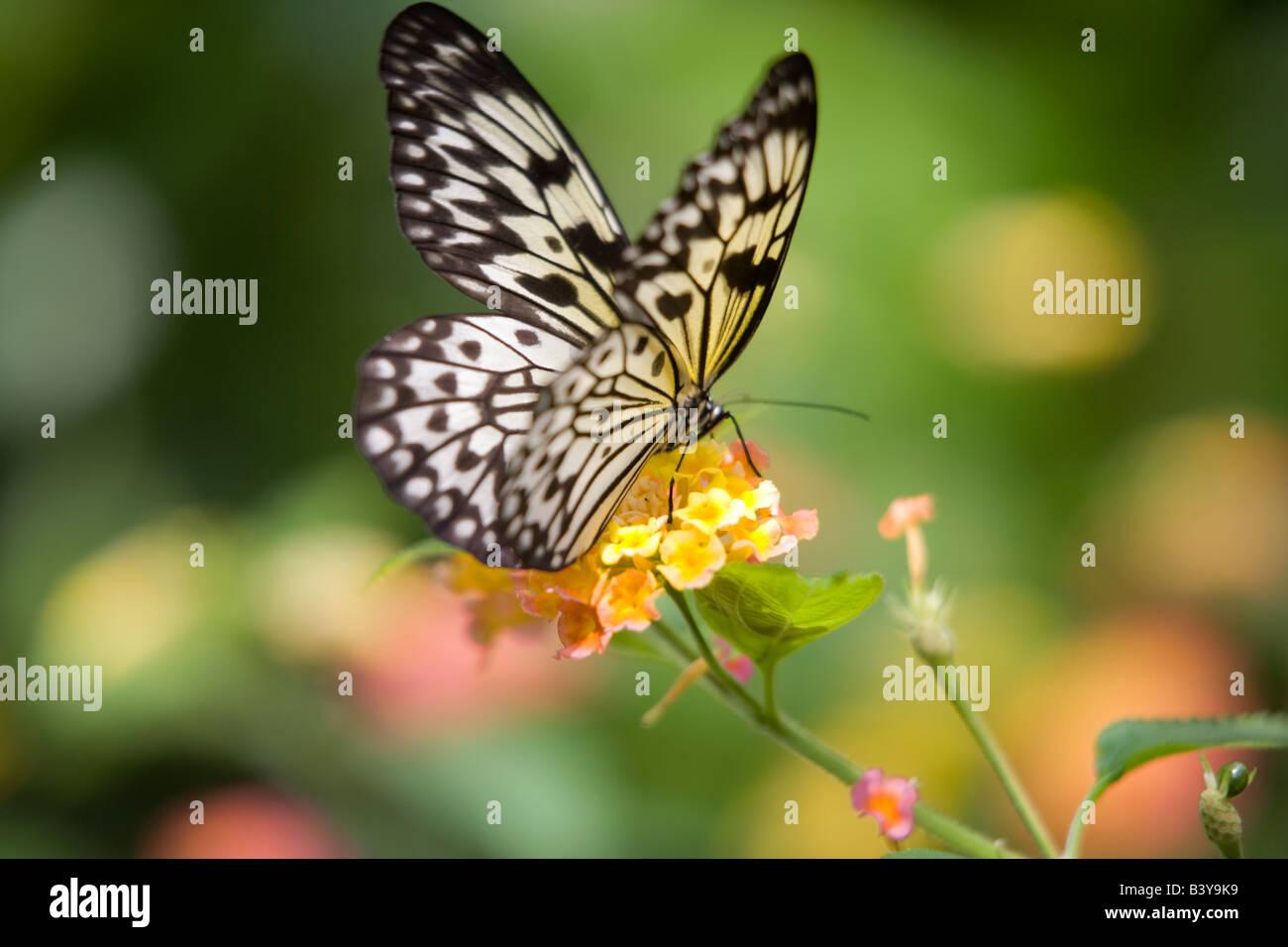 Aquilone di carta butterfly Idea leuconoe Victoria Butterfly Gardens Victoria B C Canada Immagini Stock