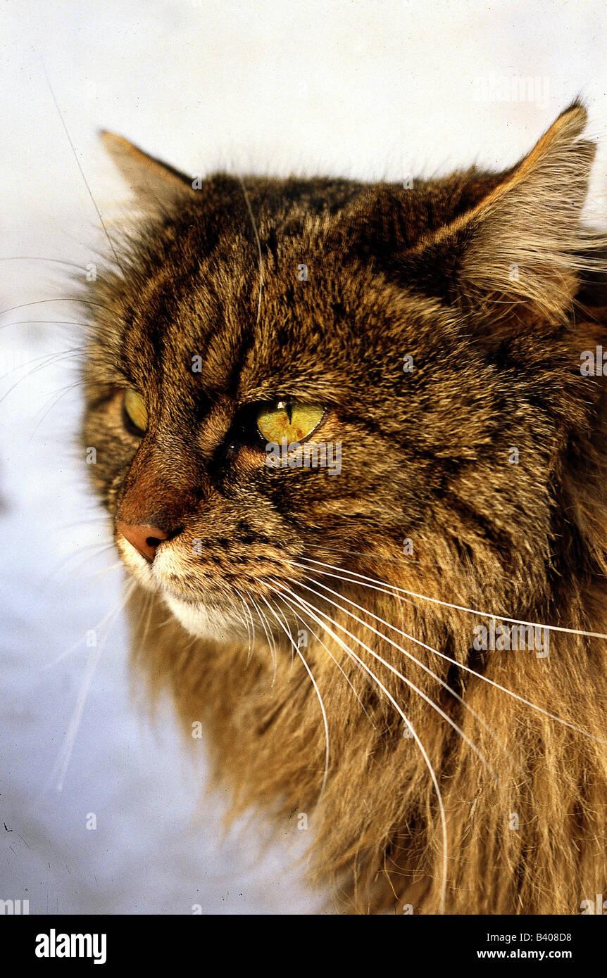 Zoologia Animali Mammifero Di Mammifero Gatti Felidae