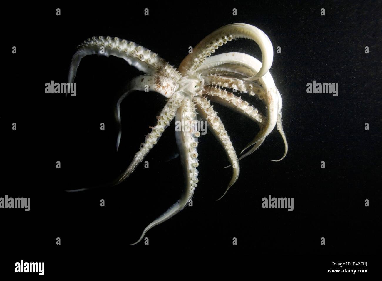 Jumbo calamari calamaro di Humboldt di notte Dosidicus Gigas Loreto Mare di Cortez Baja California Oriente Pacifico Immagini Stock