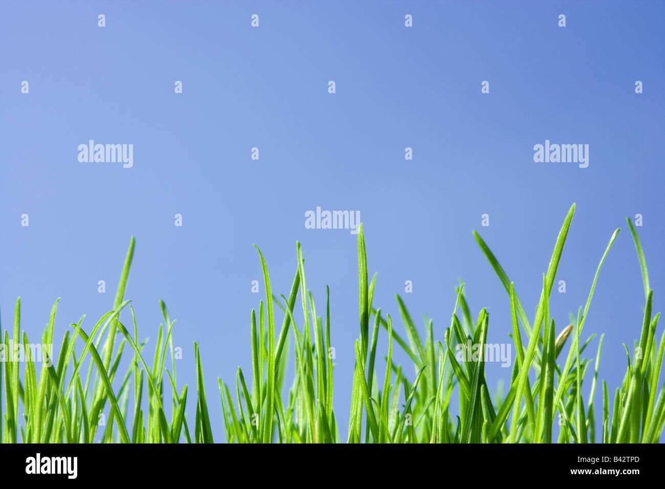 Erba, angolo basso contro il cielo blu. Foto Stock