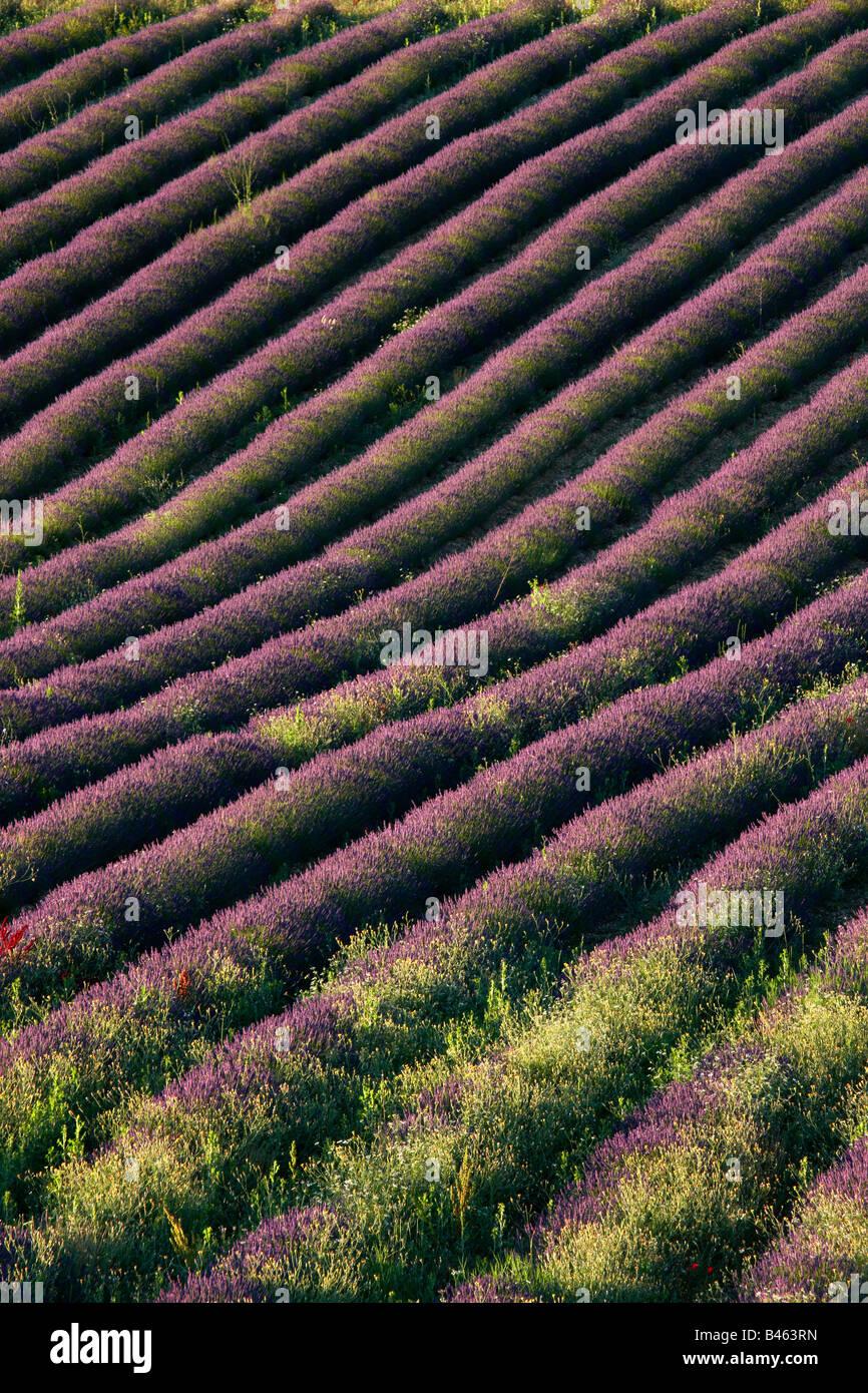Righe di lavanda in un campo vicino a St-Saturnin-les-apt, il Vaucluse Provence, Francia Foto Stock