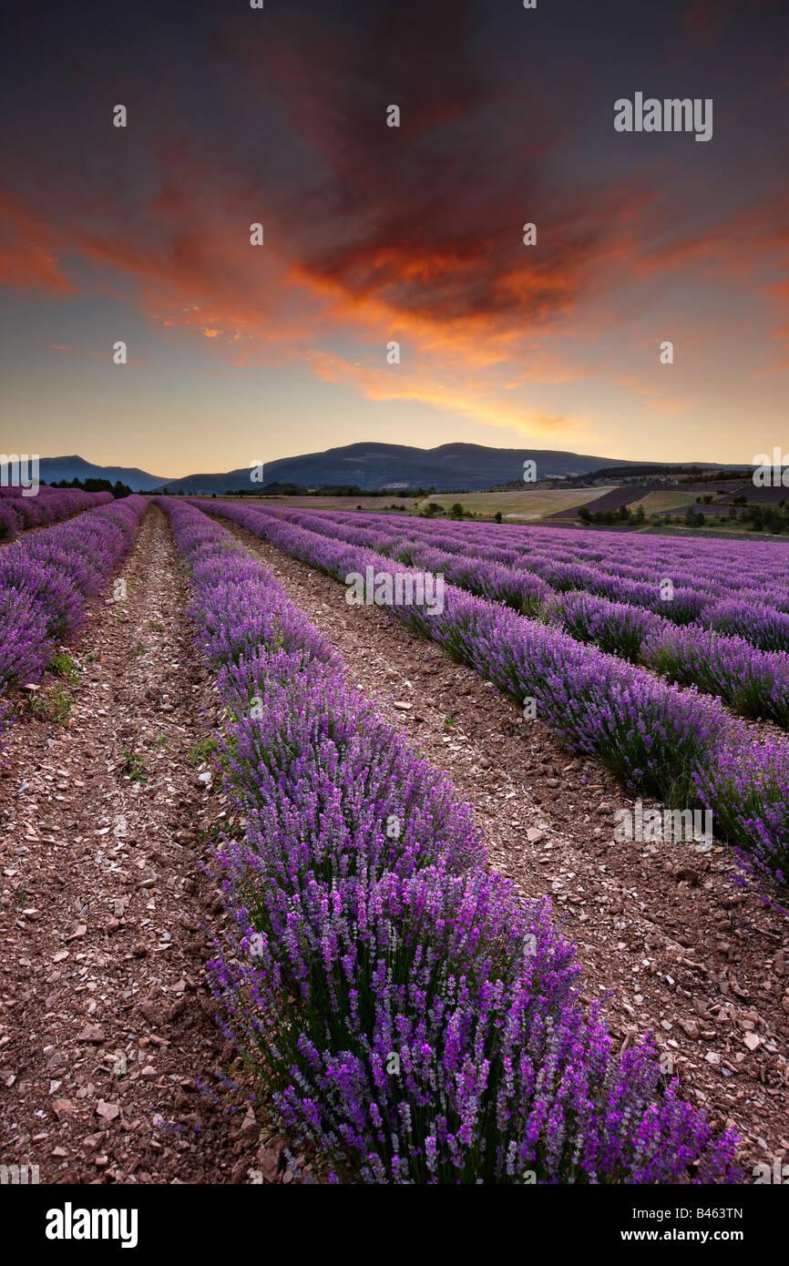 Alba in un campo di lavanda nr Sault, Vaucluse Provence, Francia Immagini Stock