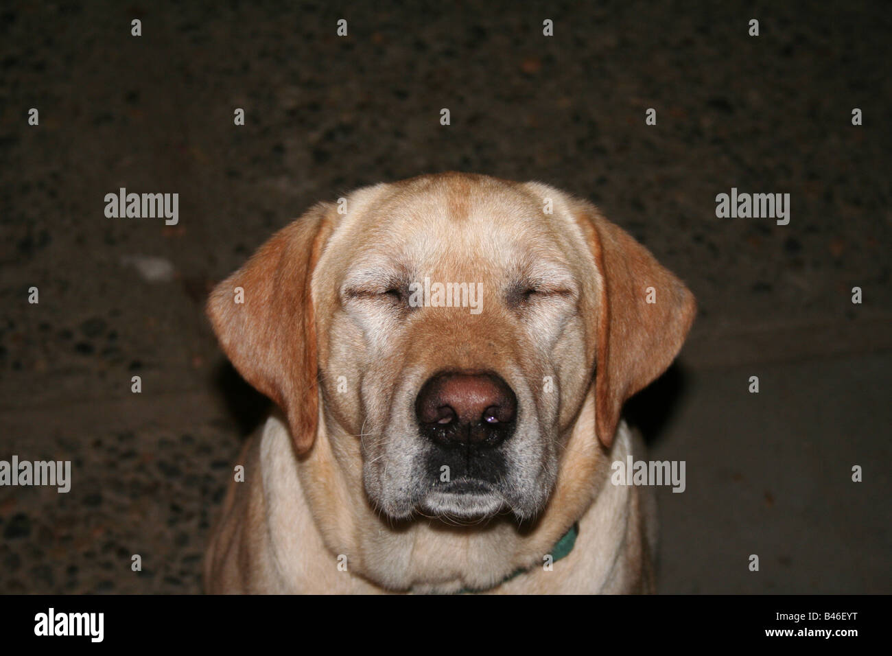 Giallo labrador cane con gli occhi chiusi Immagini Stock
