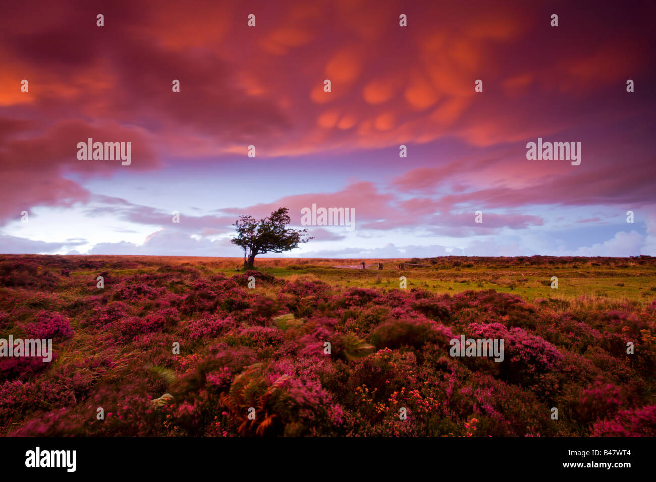 Tempestoso tramonto del heather tappezzate Dunkery Collina Parco Nazionale di Exmoor Somerset Inghilterra Foto Stock