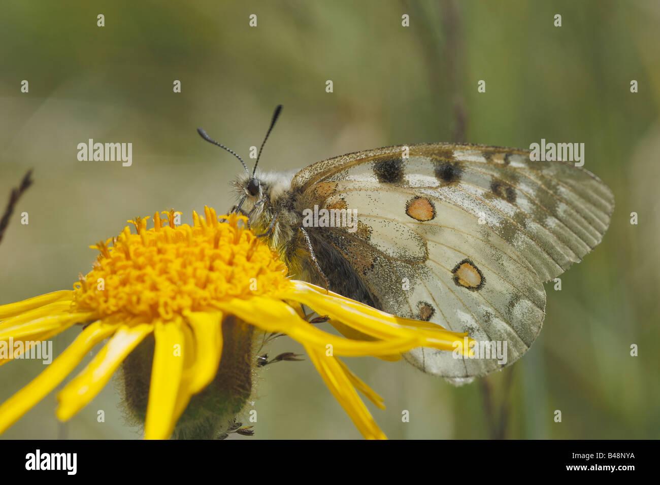 Montagna a farfalla Parnassius apollo Apollo papilionidi lepidotteri ropaloceri farfalle diurne prato prateria alpina Immagini Stock