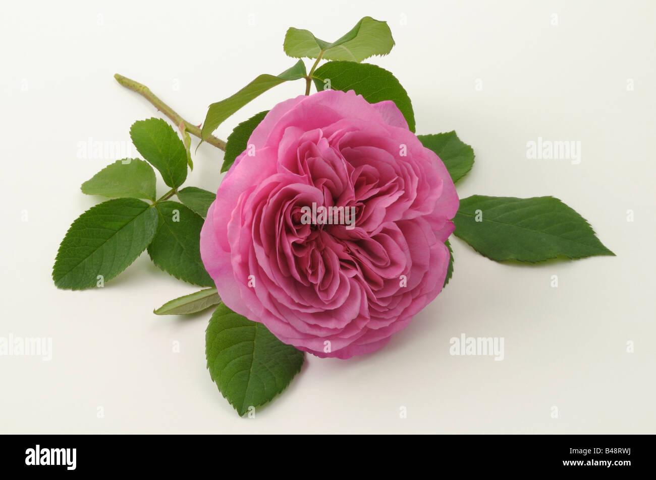 Damasco rosa (Rosa x damascena), varietà: Ispahan, fiore, studio immagine Immagini Stock