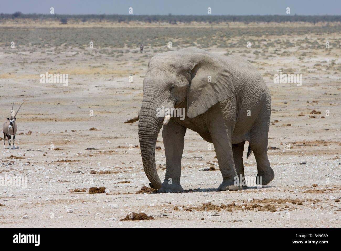Elefante africano Loxodonta africana a waterhole Etosha National Park Namibia Immagini Stock