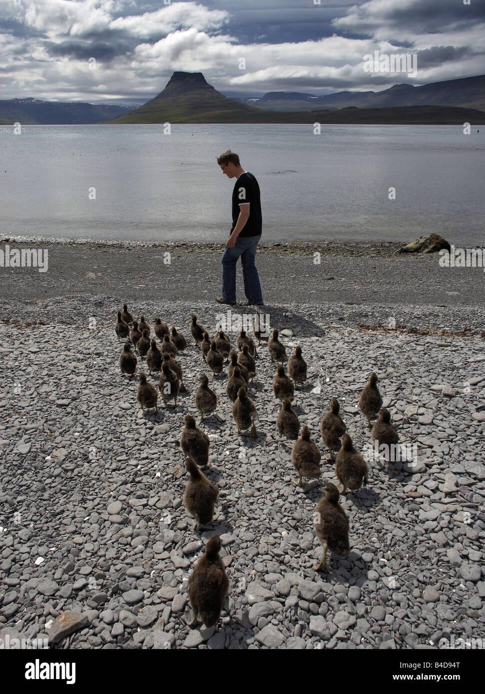 Eider anatre seguenti ragazzo sulla spiaggia, Vigur Island, a ovest di fiordi, Islanda Immagini Stock
