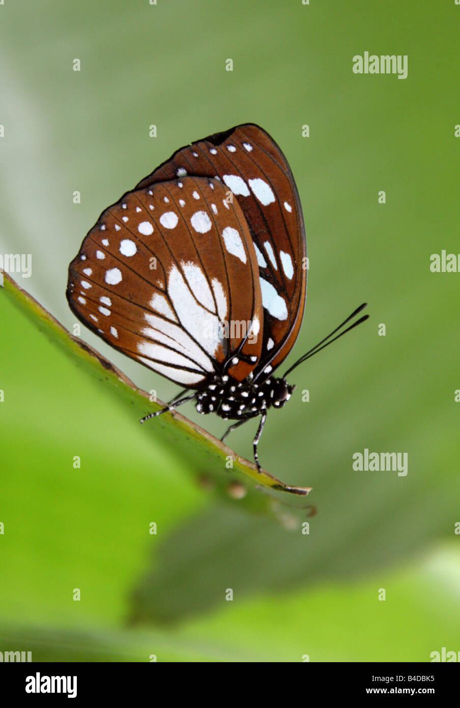 Blu e Marrone farfalle tropicali Immagini Stock
