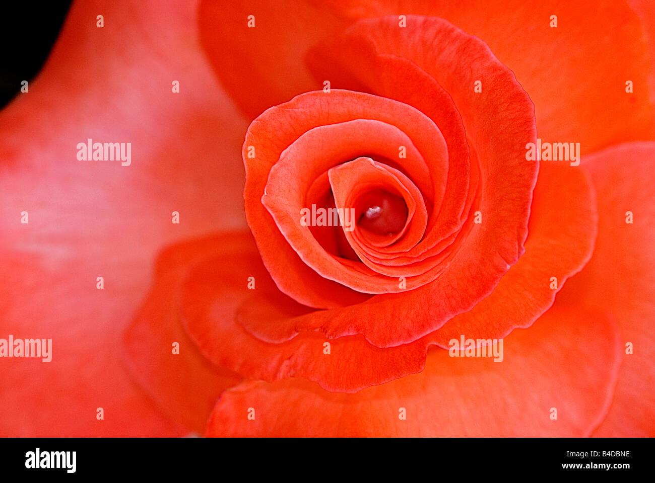 Class Hybrid Tea Rose Immagini & Class Hybrid Tea Rose Fotos Stock ...