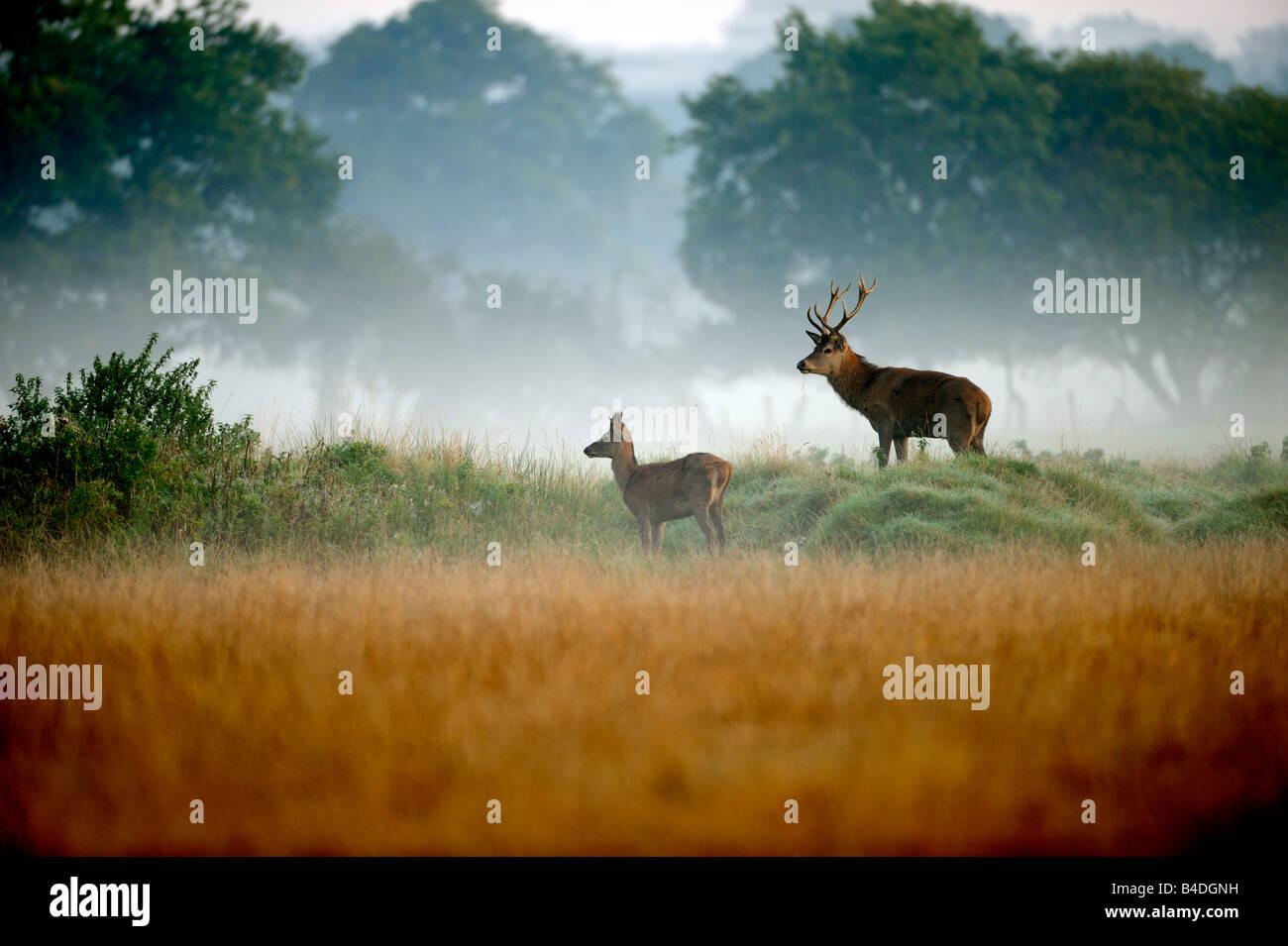 I giovani Cervi Cervi nella nebbia Immagini Stock
