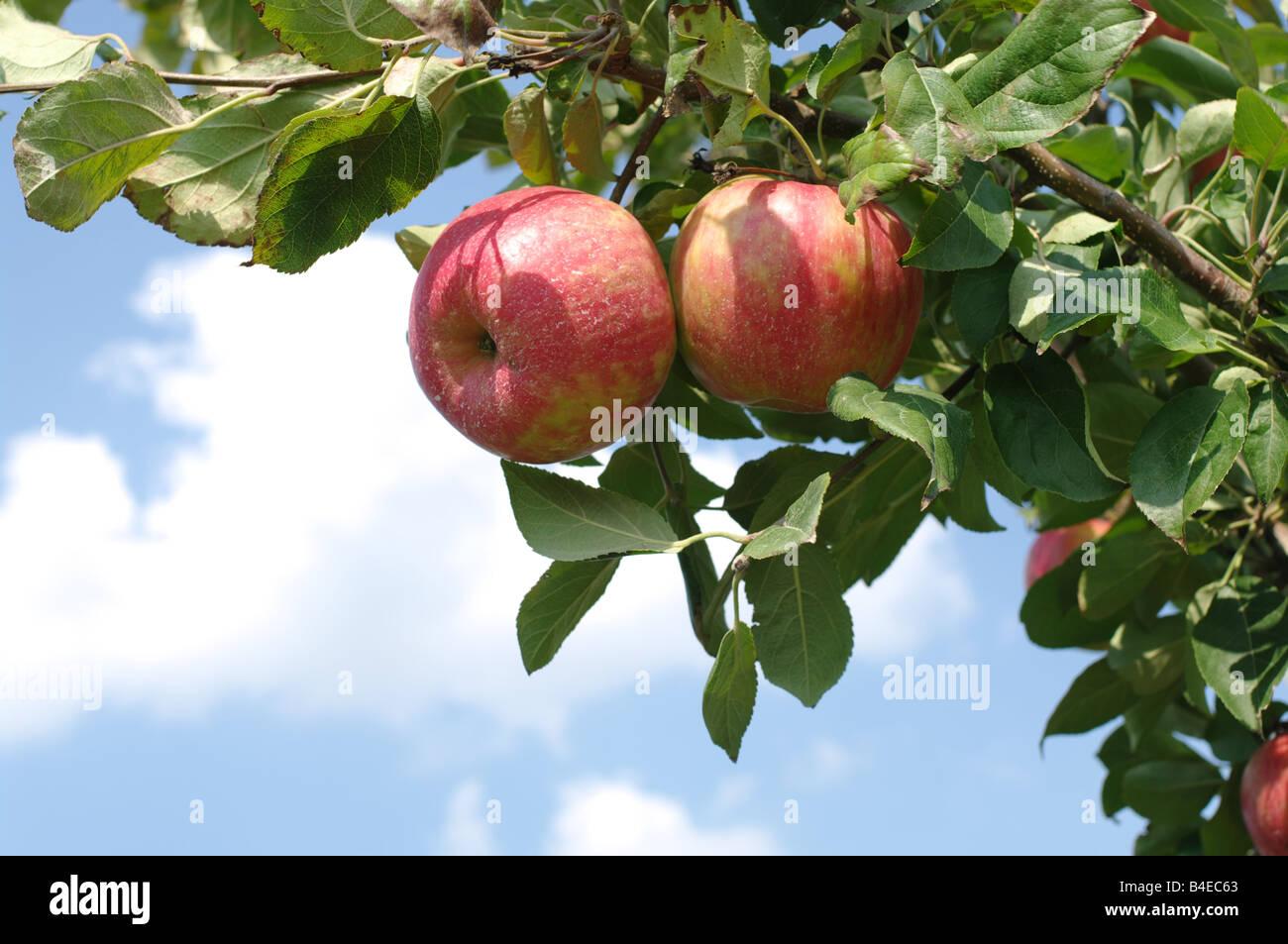 Le mele rosse appeso al ramo di albero contro il cielo blu Immagini Stock