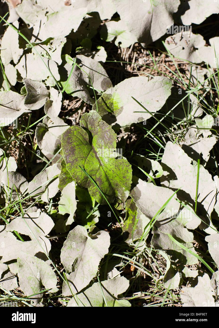 La polvere di inquinamento su foglie verdi nella parte industriale di Toronto, Ontario, Canada. Immagini Stock
