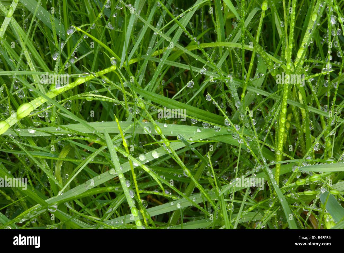 Close up di goccioline sul bagnato erba verde Immagini Stock