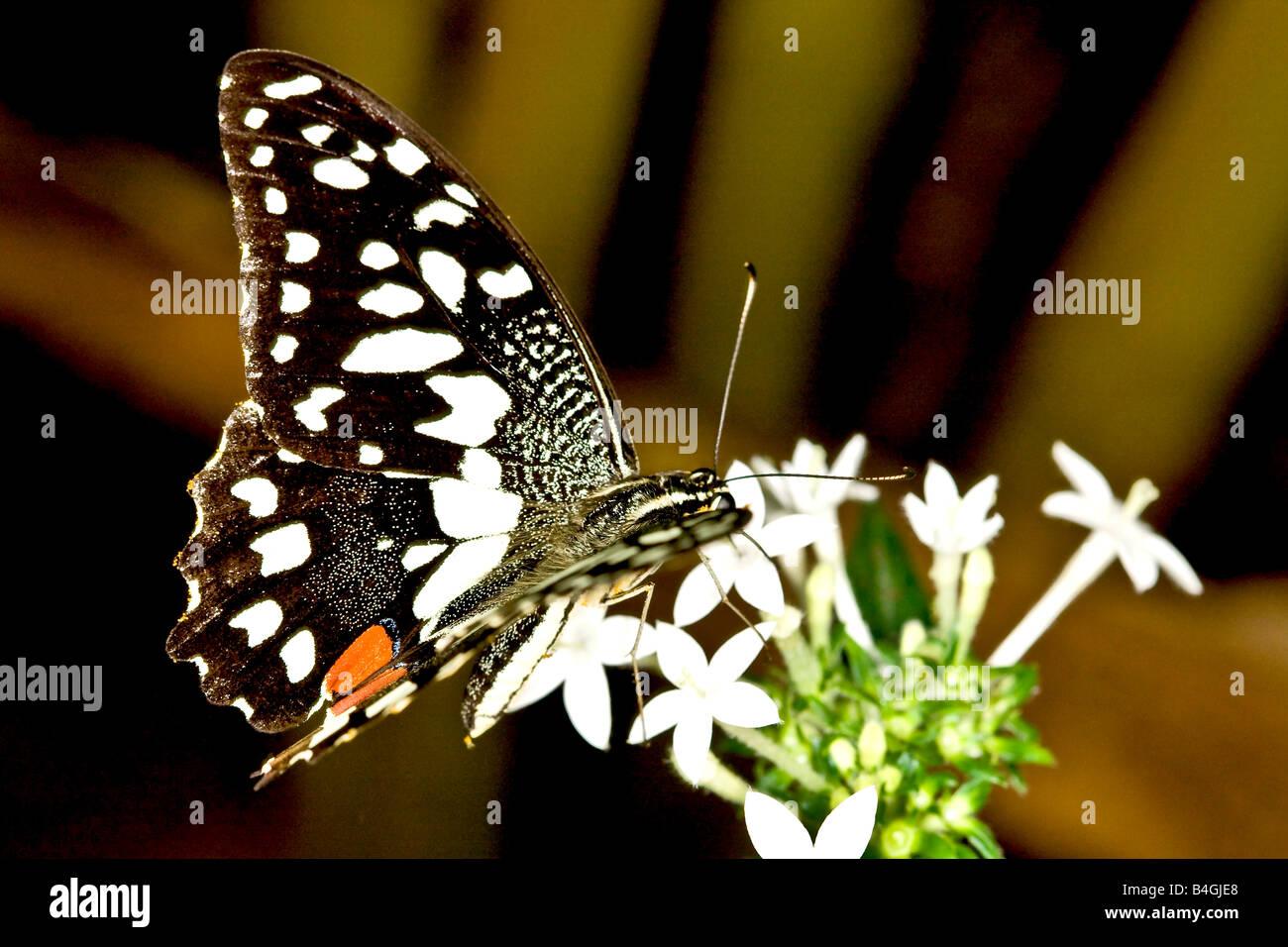 Farfalla di limone Immagini Stock