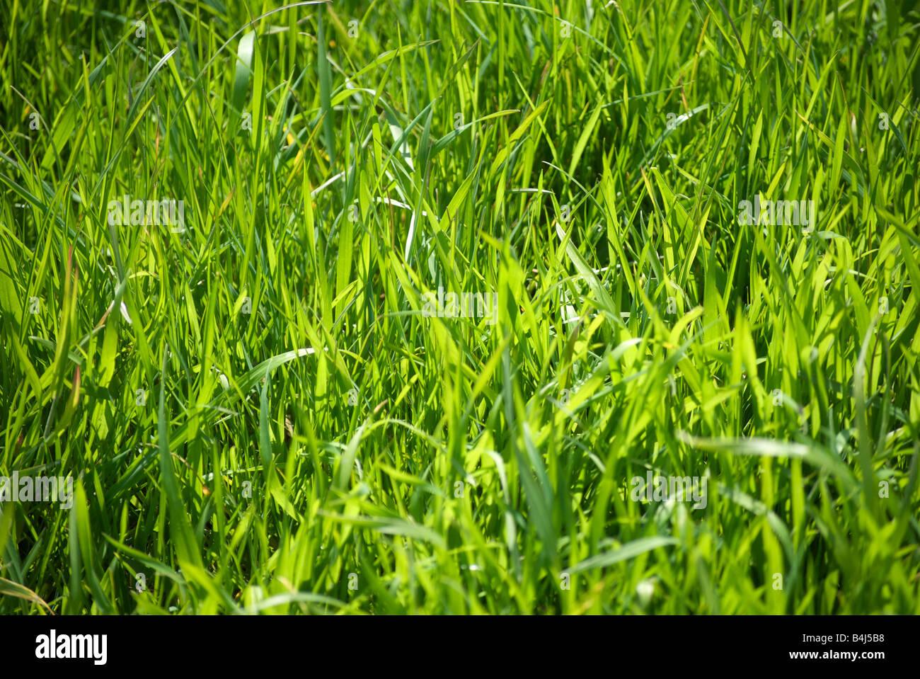 La luce del sole splende fortemente su una chiazza di verde di media lunghezza erba. Immagini Stock