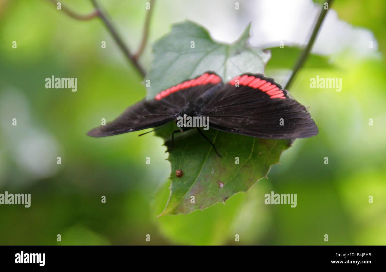 Cerchio rosso di farfalle tropicali, Biblis hyperia, Nymphalidae Immagini Stock