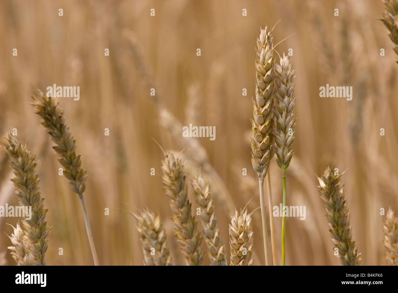 Campo di grano di cereale raccolto raccolto cestino per pane Immagini Stock