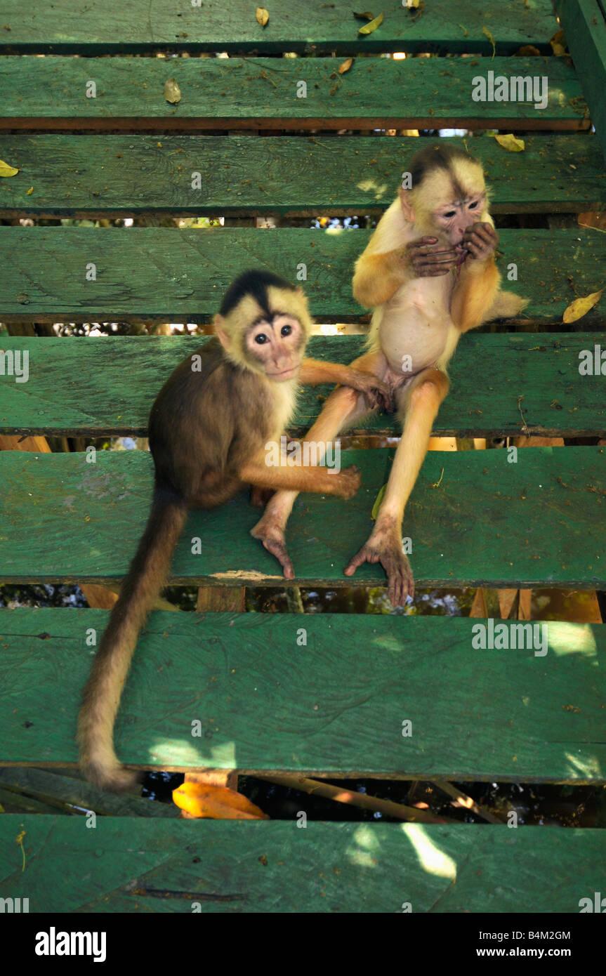 Bianco-fronteggiata scimmie cappuccino (Cebus albifrons) su hotel marciapiede, Rio Negro, Amazonia, Brasile Immagini Stock