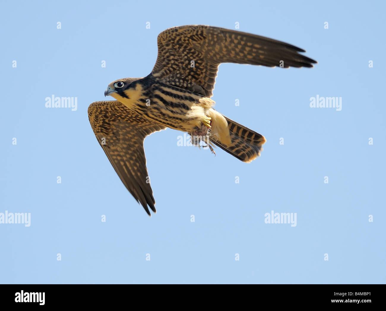L'Hobby falcon con la preda Immagini Stock