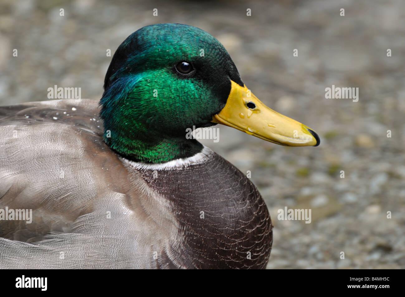 Drake Mallard Foto Stock