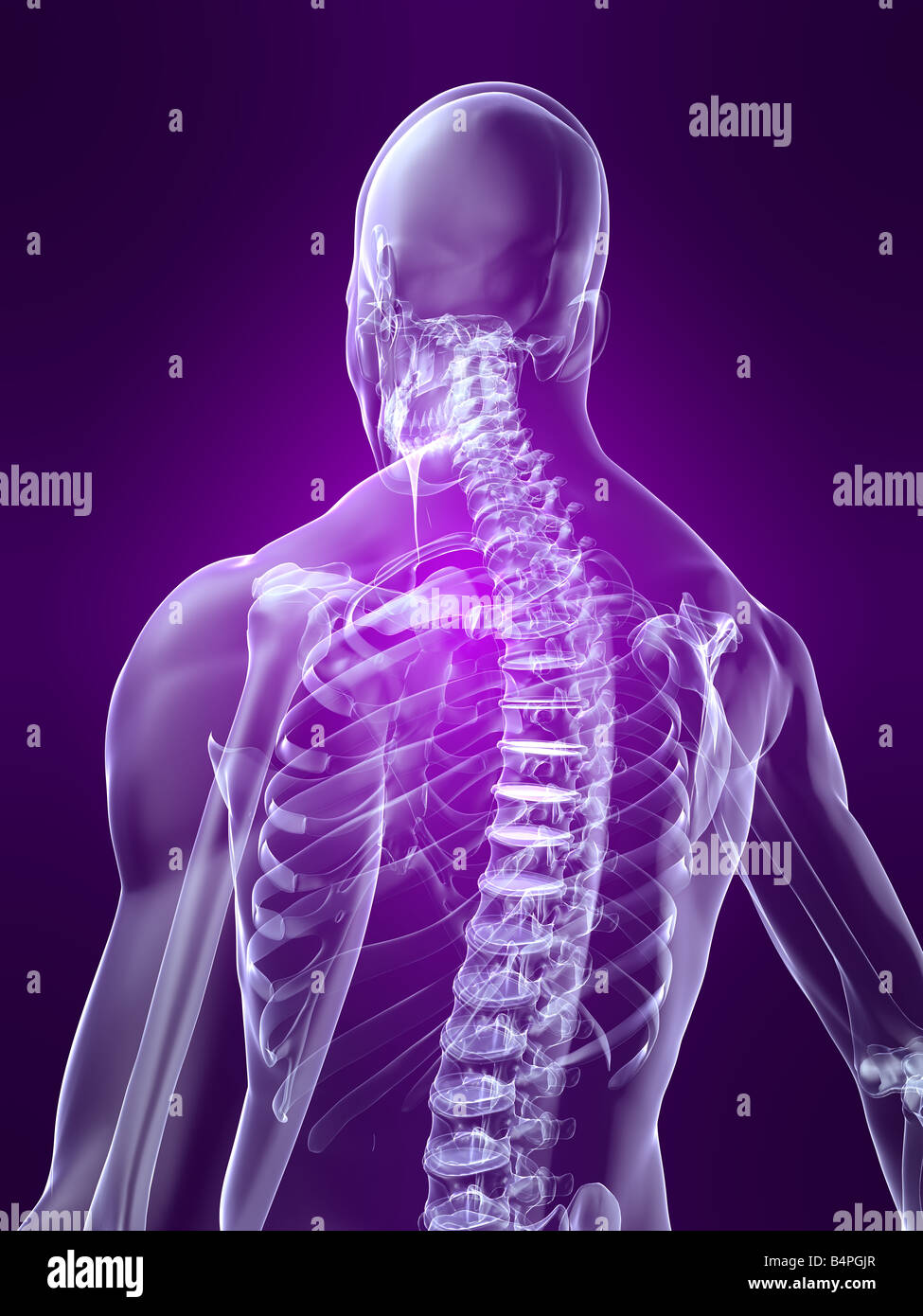 parte posteriore scheletrica Immagini Stock