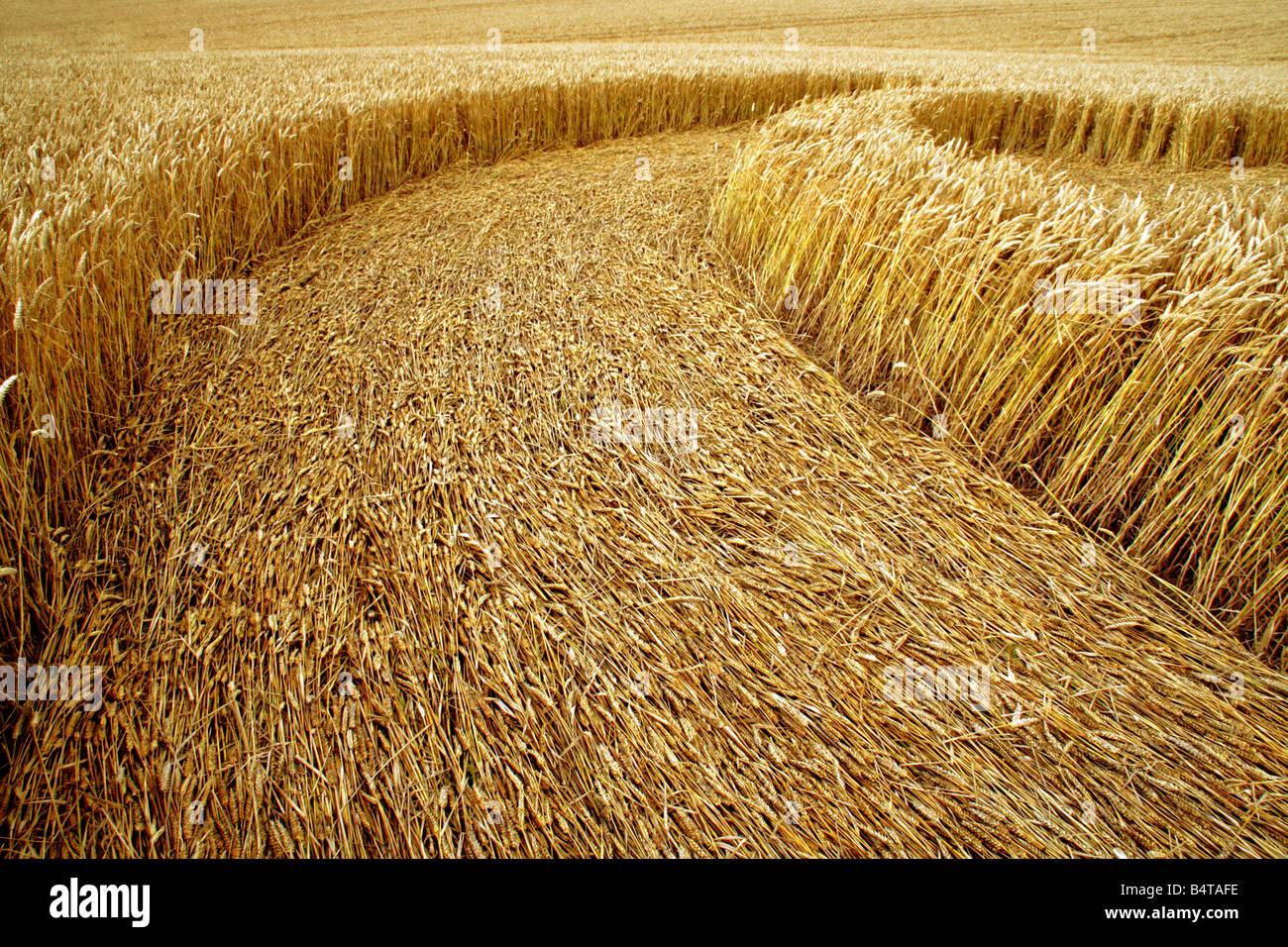 Parte di un cicle del raccolto tagliato in un campo di grano Immagini Stock