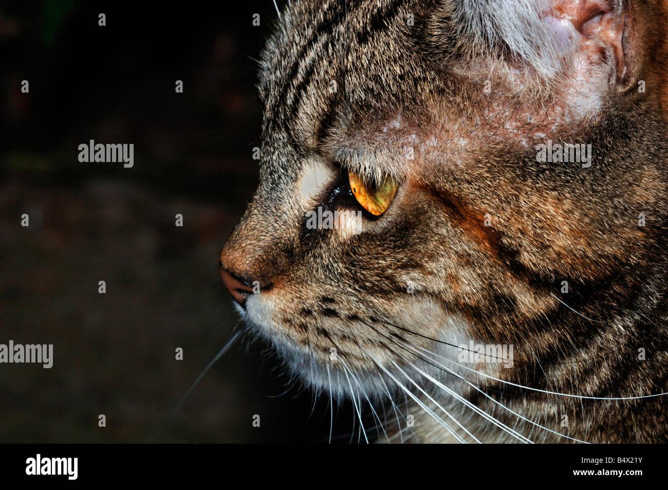 Profilo di una femmina di gatto domestico Immagini Stock