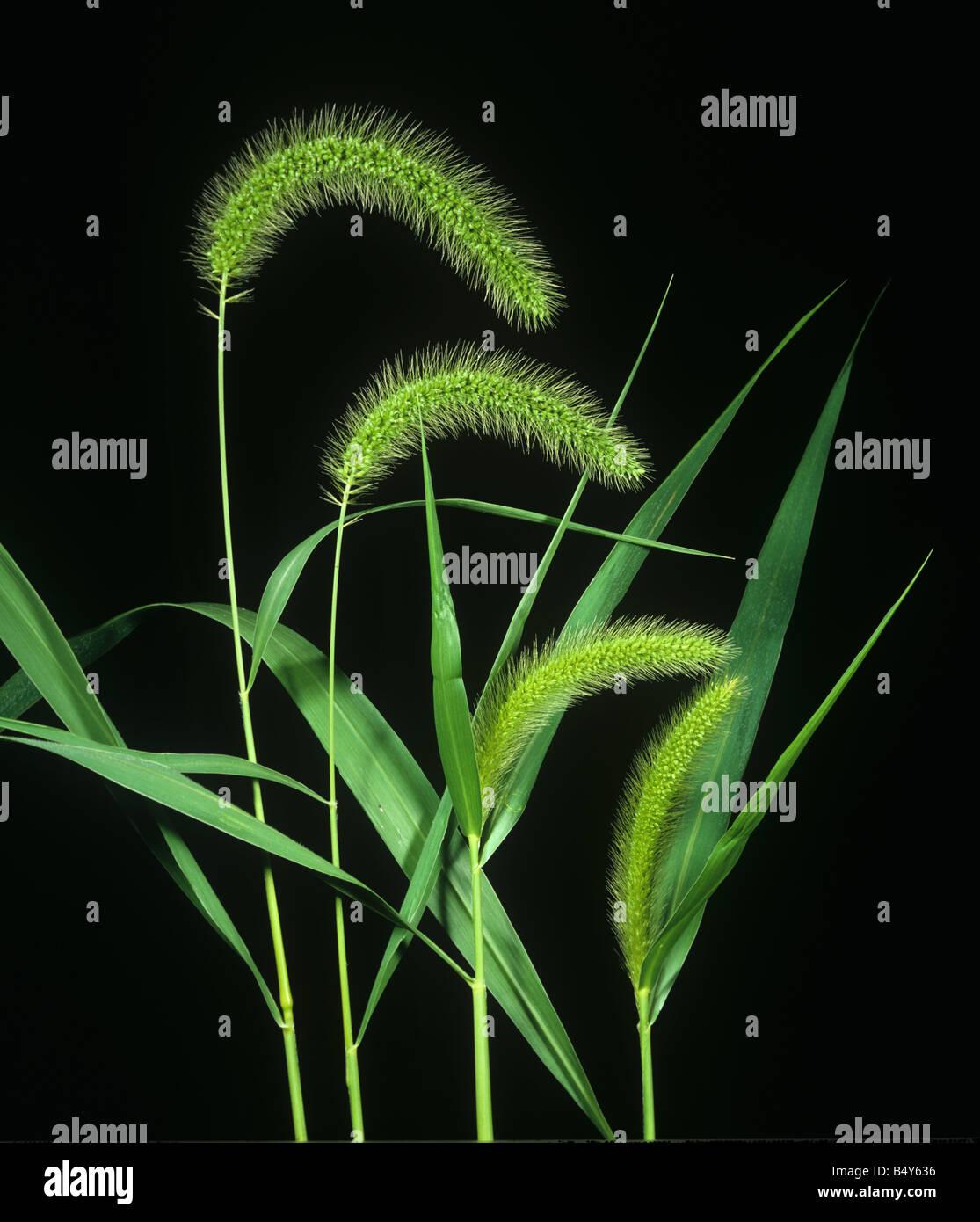 Coda di volpe gigante Setaria faberi picchi di fiori di erba infestante Immagini Stock