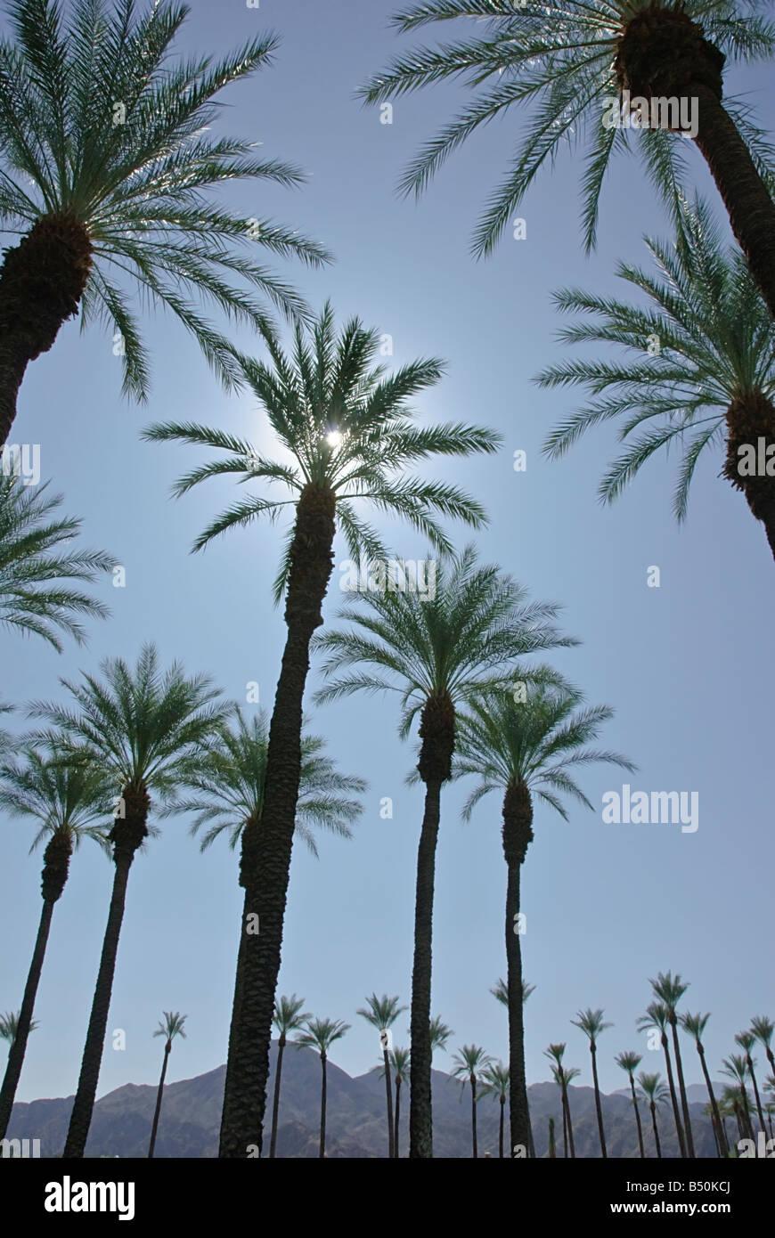 Palme California Palm tree s CA fan di palma, native California Palm tree palme Arecaceae Palmae Palmaceae Immagini Stock
