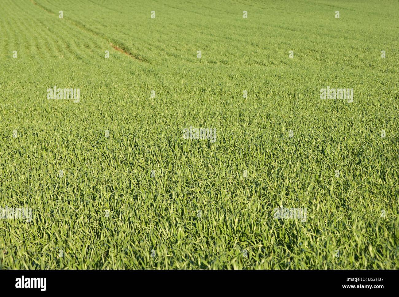 Grande immagine di un bel campo verde di erba Immagini Stock