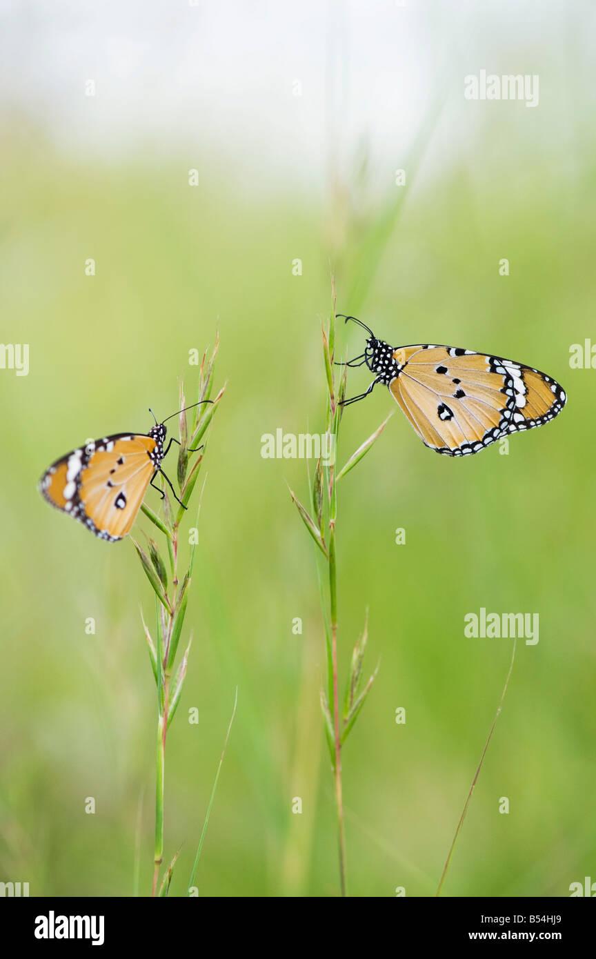 Danaus chrysippus. Plain tiger farfalle di erba in campagna indiana. Andhra Pradesh, India Immagini Stock