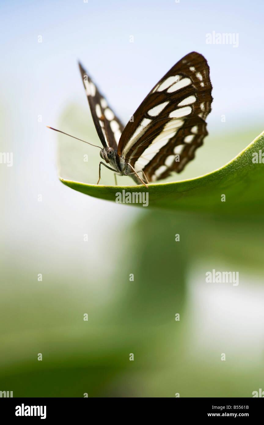 Neptis hylas. Marinaio comune butterfly arroccato su una foglia nella campagna indiana. Andhra Pradesh, India Immagini Stock
