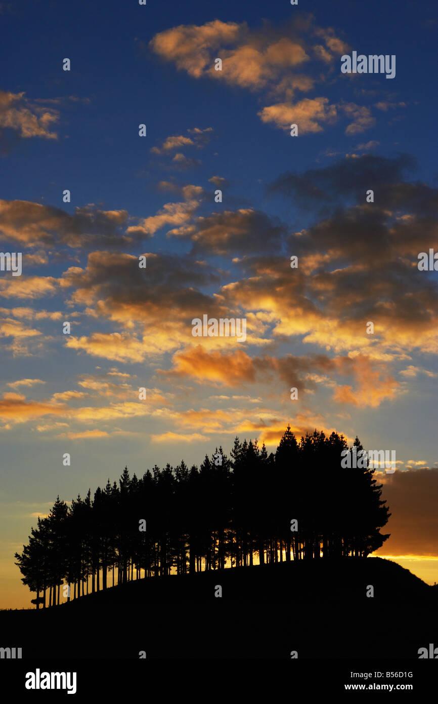 Silhouette di ceduo sulla collina contro il tramonto di Isola del nord della Nuova Zelanda Immagini Stock