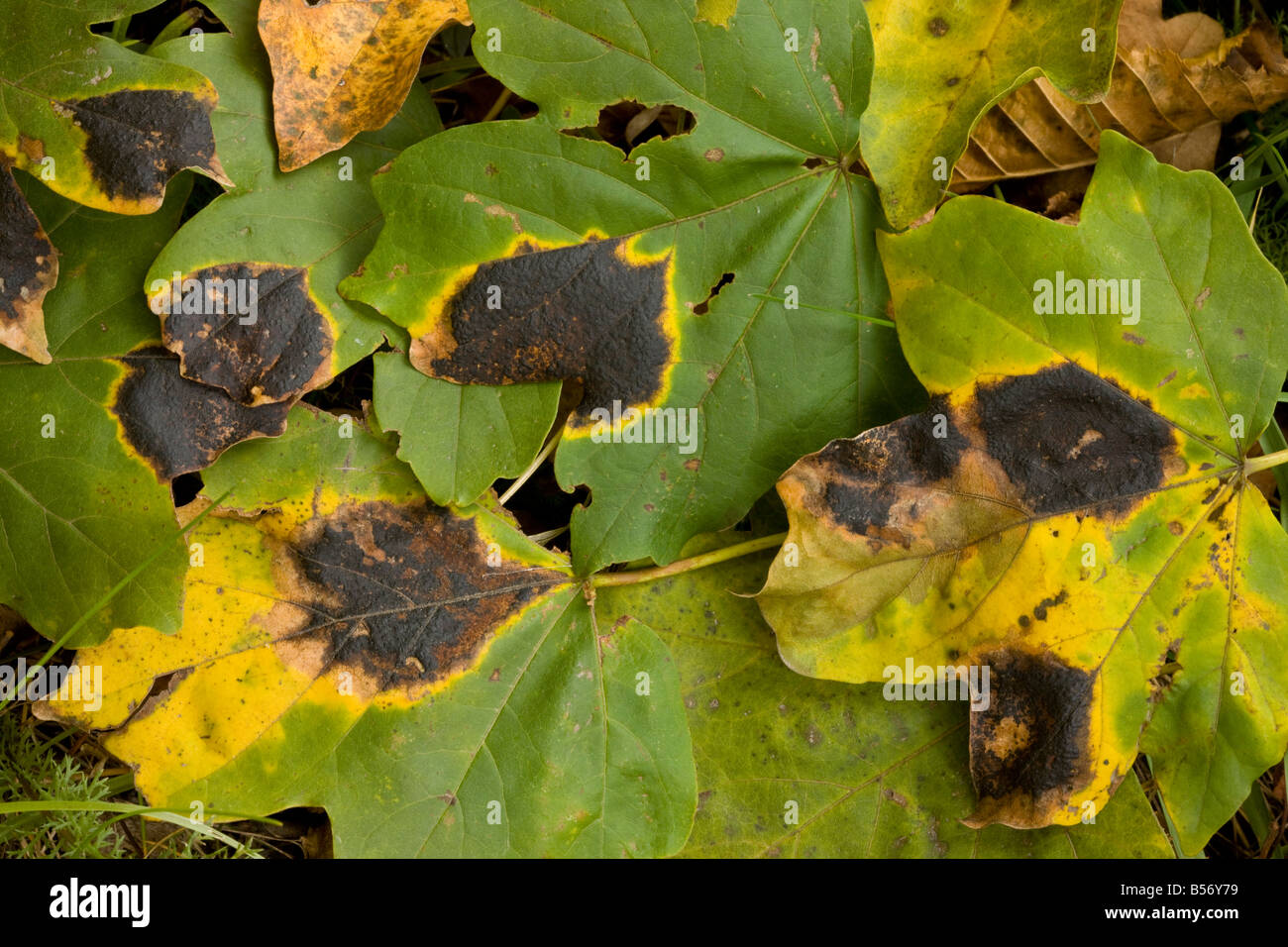 Macchia Di Catrame Fungo Rhytisma Acerinum Su Foglie Di Acero