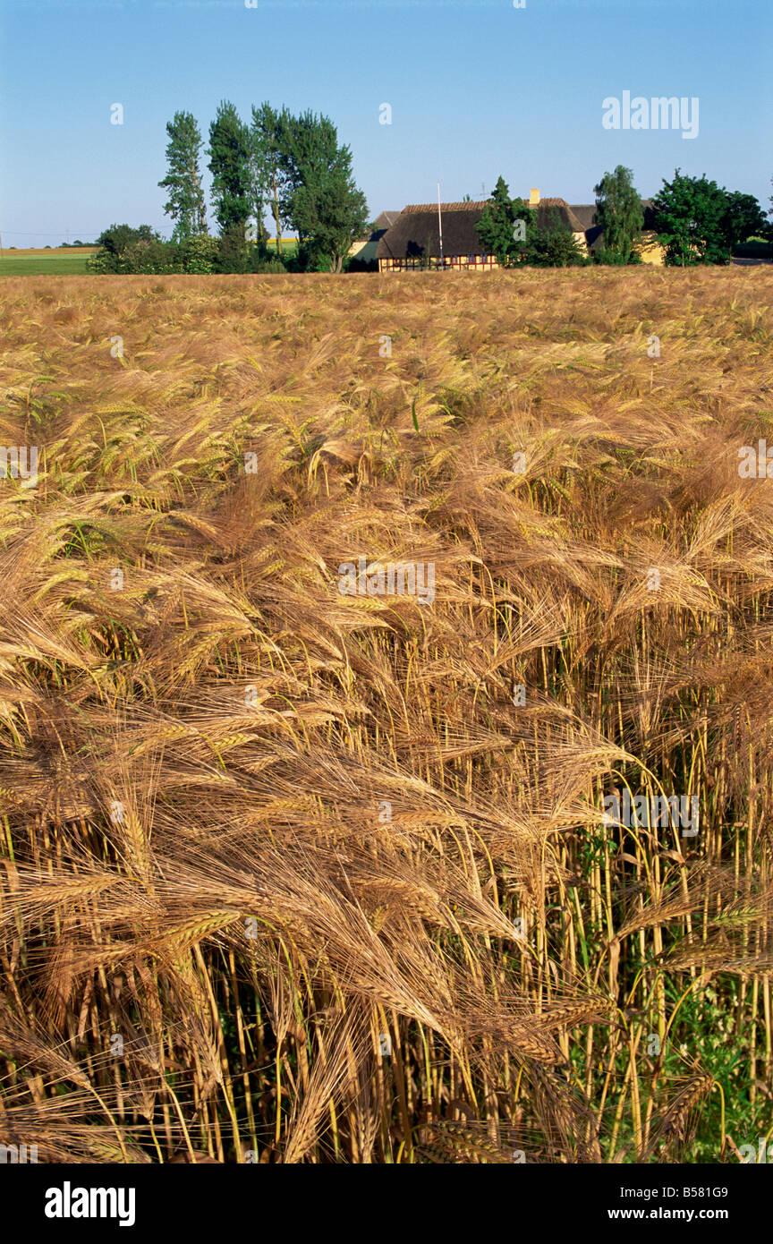 Raccolto di cereali maturi e edifici con tetti in paglia dietro, Hule Farm Village Museum, Funen, Danimarca, Scandinavia, Immagini Stock