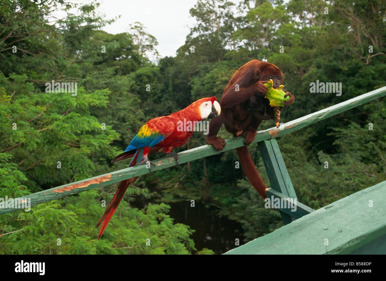 Macaw e monkey competere per la frutta area amazzonica del Brasile America del Sud Immagini Stock