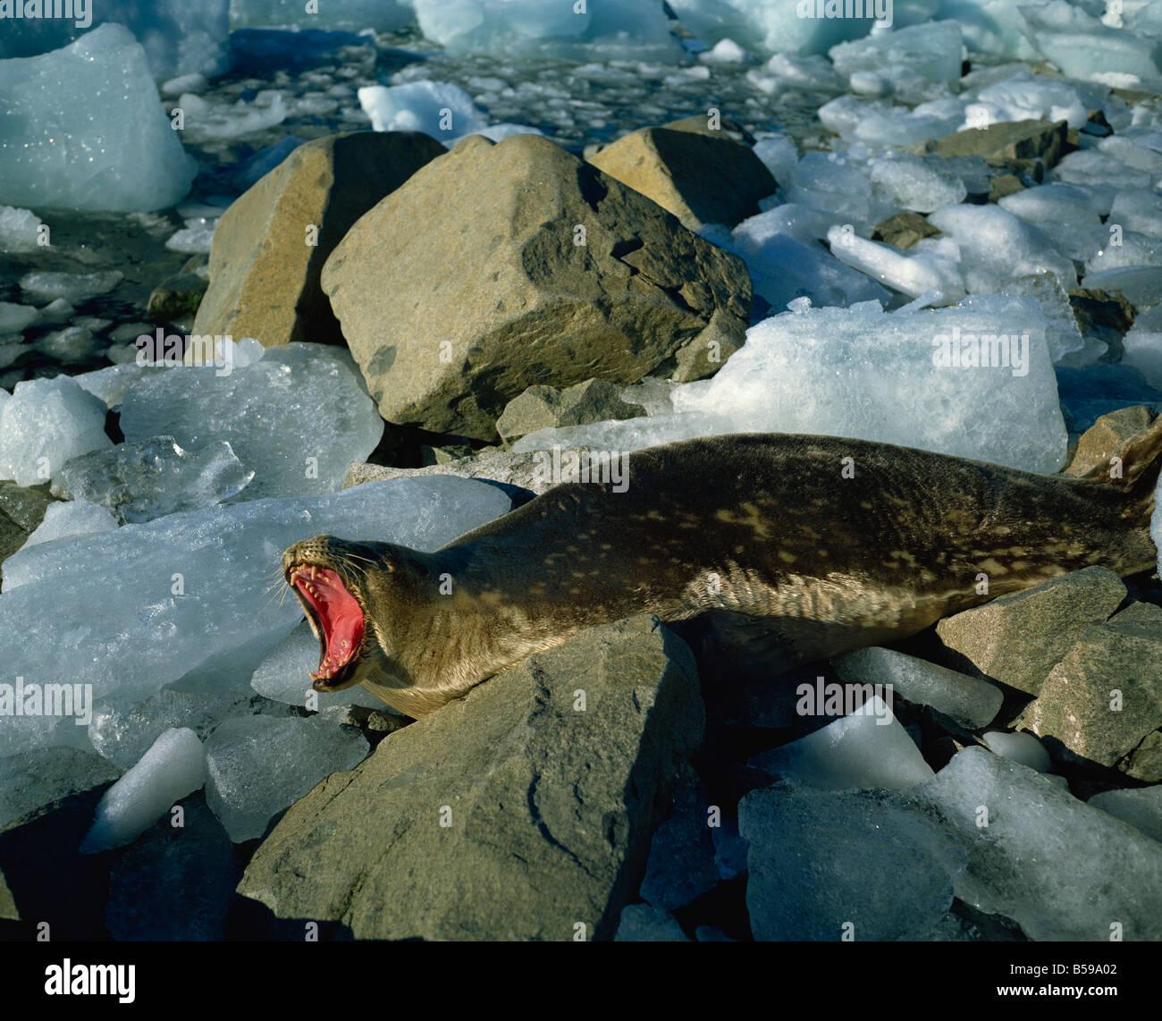 Guarnizione di Weddell Antartide Regioni polari Immagini Stock