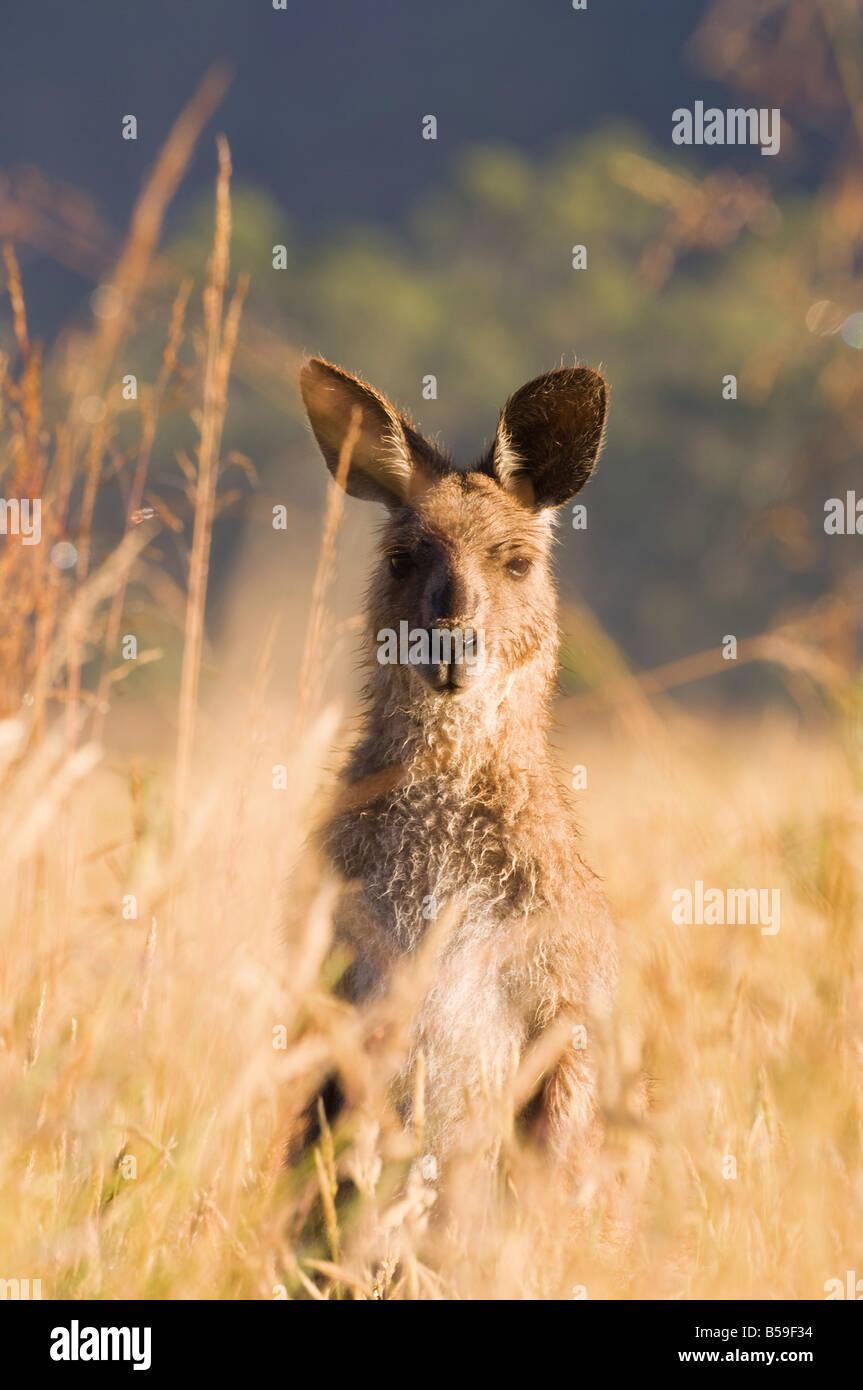 Grigio orientale canguro, Geehi, Kosciuszko National Park, New South Wales, Australia Pacific Immagini Stock