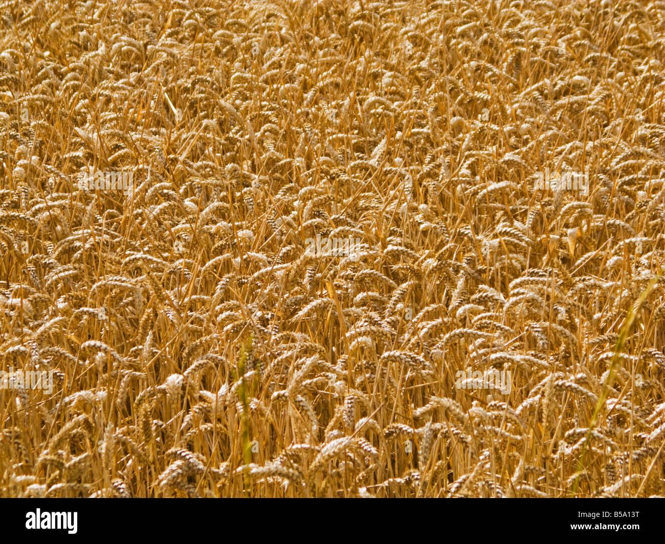 Campo di grano pieno frame Immagini Stock