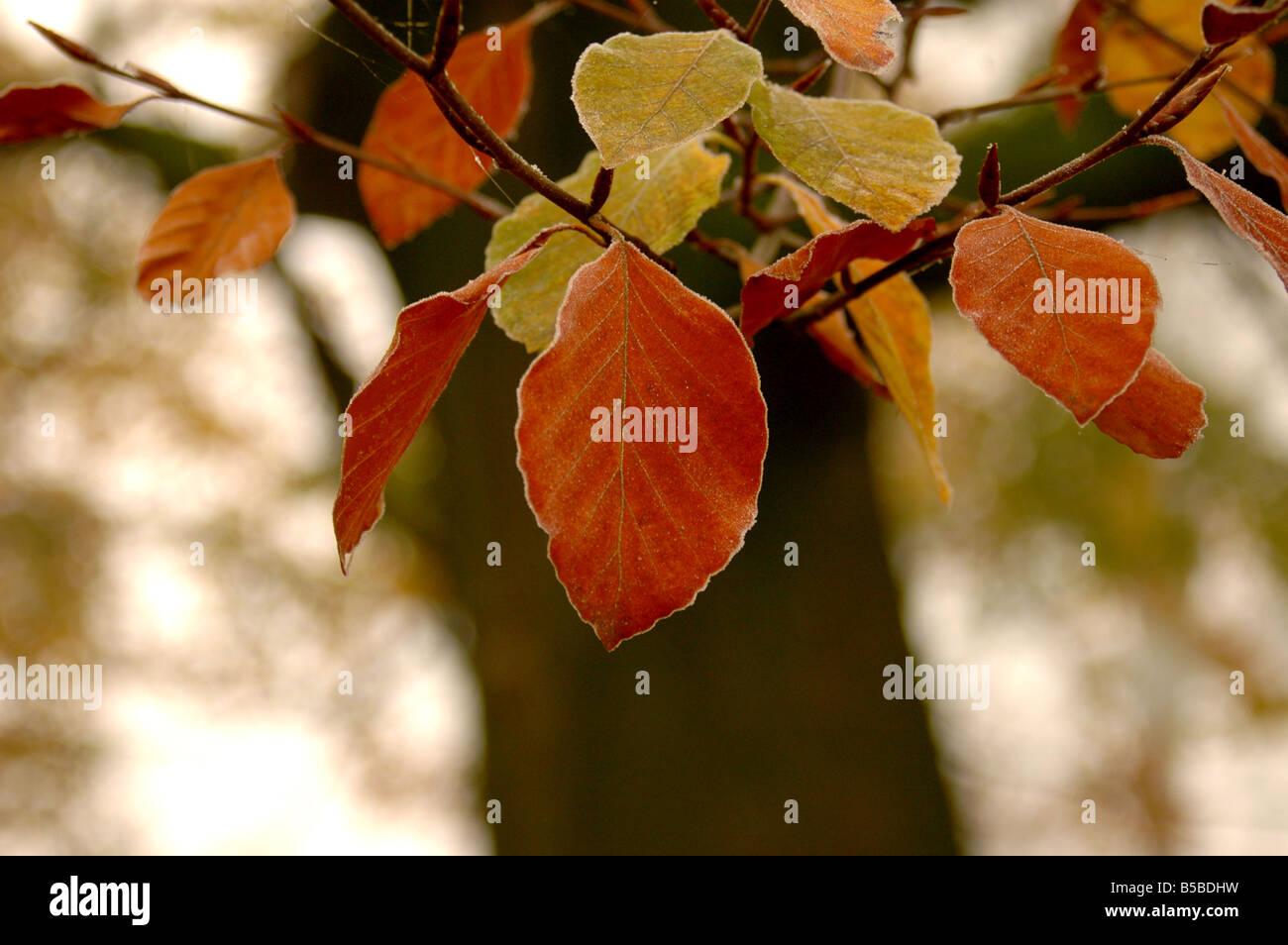 La brina su autunnale di foglie di faggio - Fagus sylvatica Foto Stock