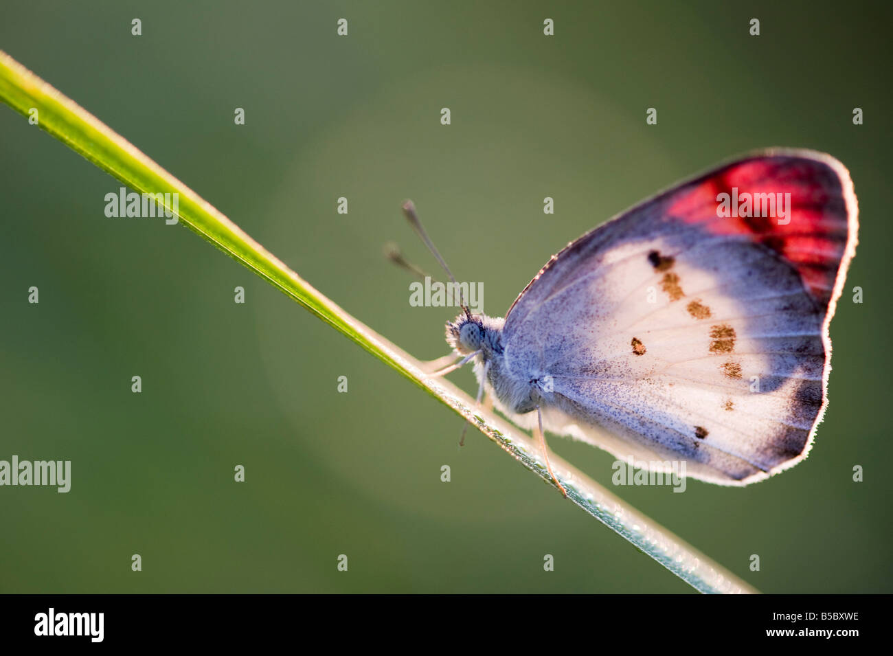 Colotis Danae. Crimson Butterfly punta il riscaldamento su un gambo di erba in campagna indiana. India Immagini Stock