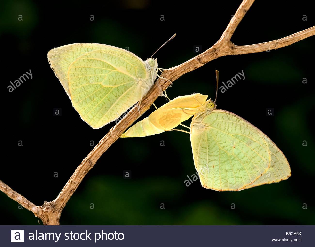 Chiazzato emigrante farfalle Immagini Stock