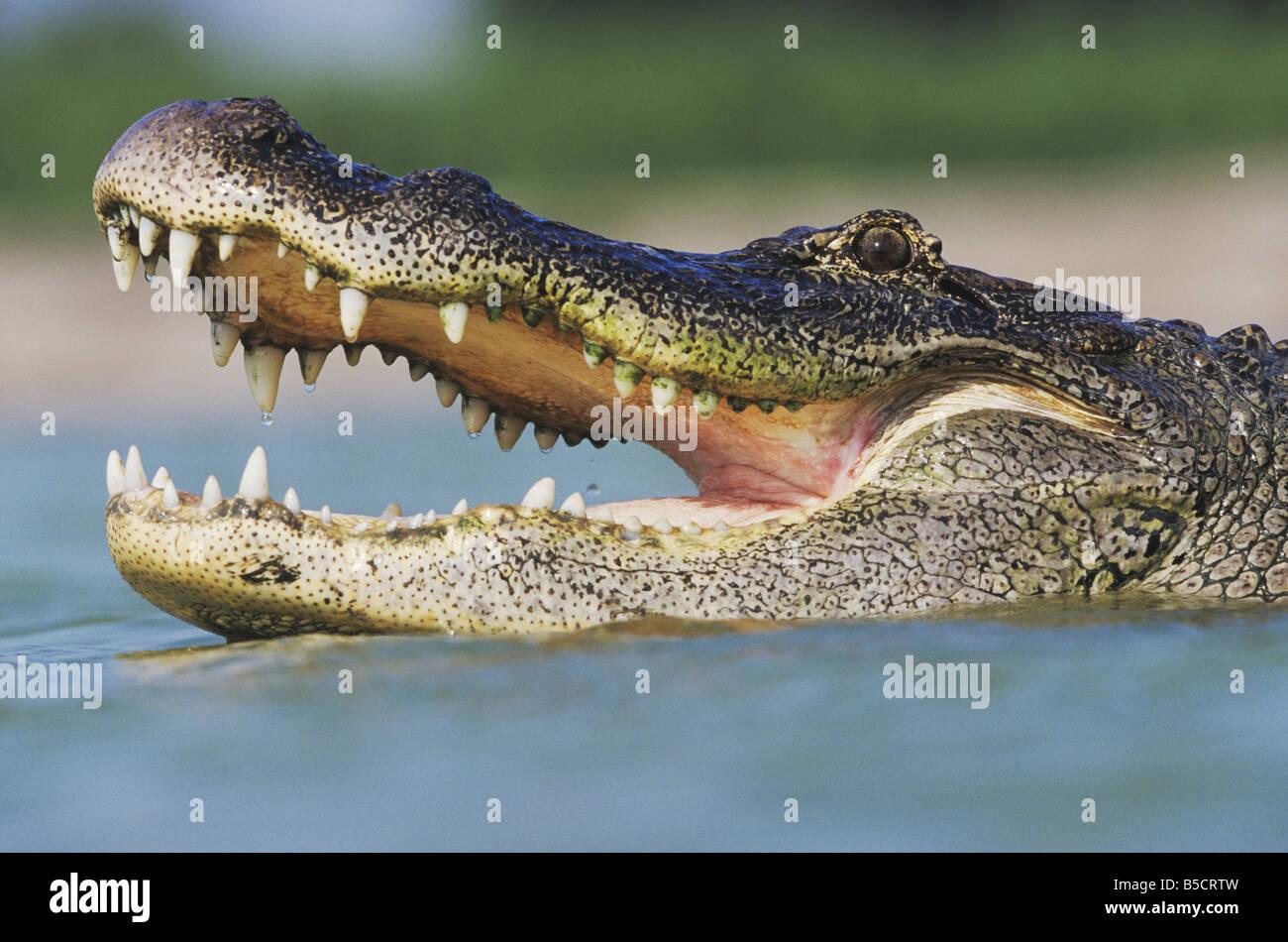 American Alligator Alligator mississipiensis adulto bocca aperta Rio Grande Valley Texas USA Foto Stock