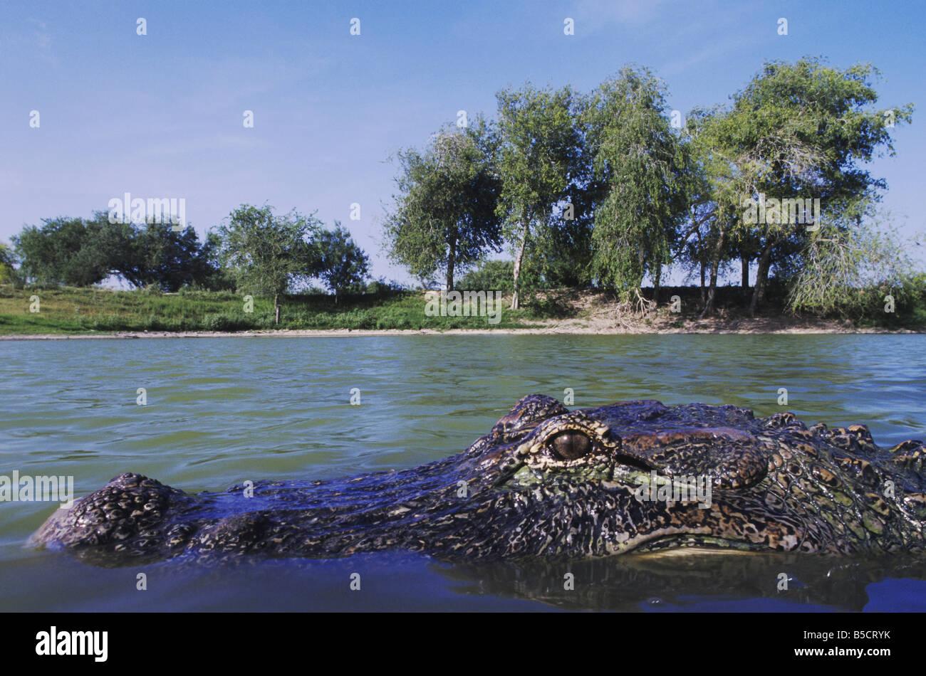 American Alligator Alligator mississipiensis adulto in stagno Rio Grande Valley Texas USA Foto Stock