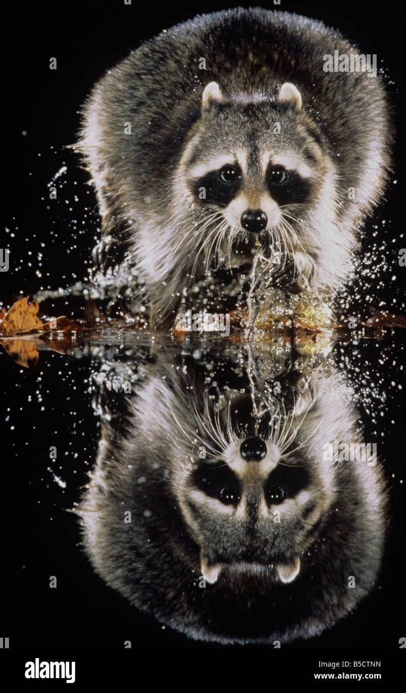 Procione settentrionale (Procione lotor), adulto in esecuzione attraverso acqua, Raleigh, Wake County, North Carolina, Immagini Stock