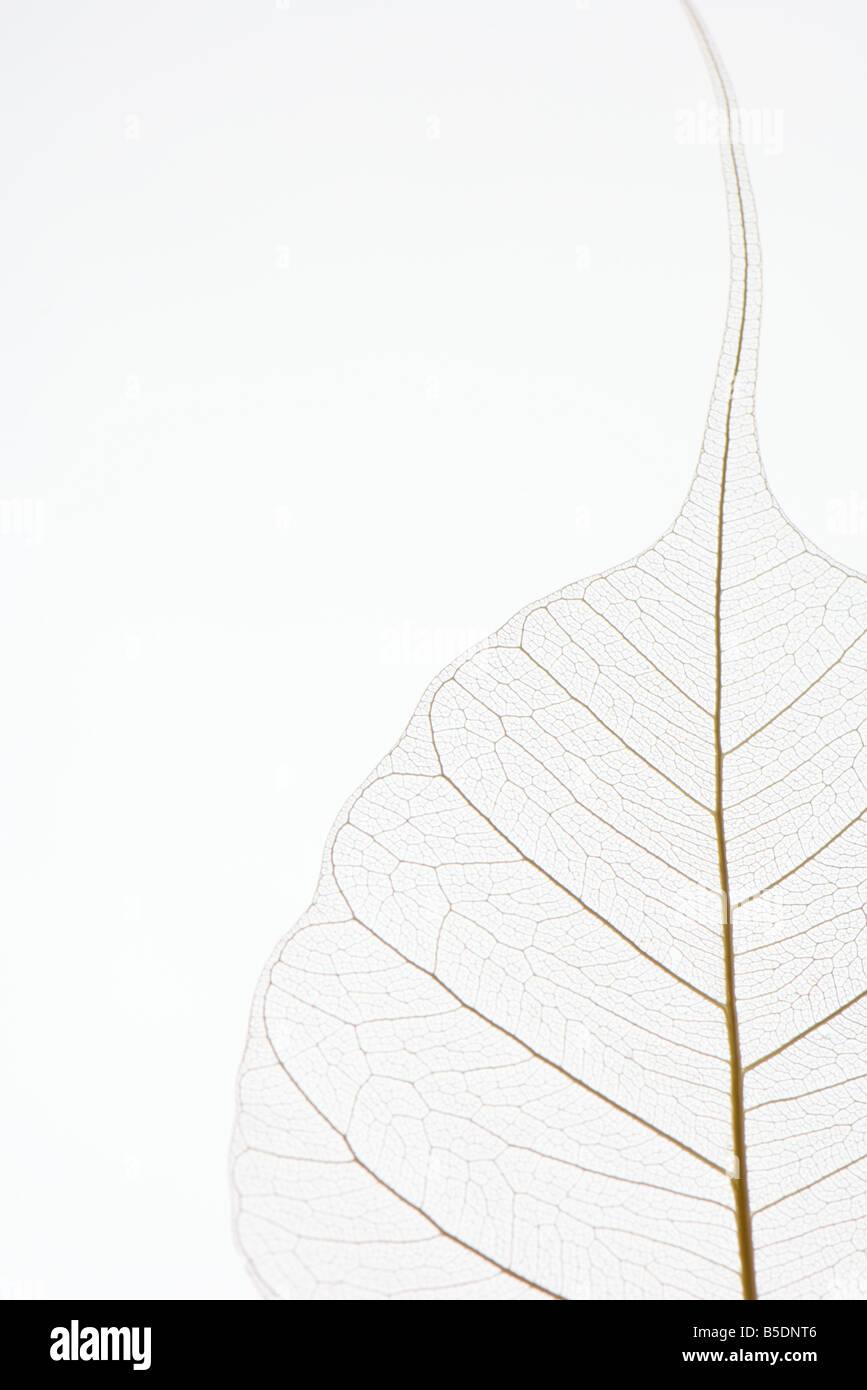 Foglia traslucido, close-up, ritagliato Immagini Stock
