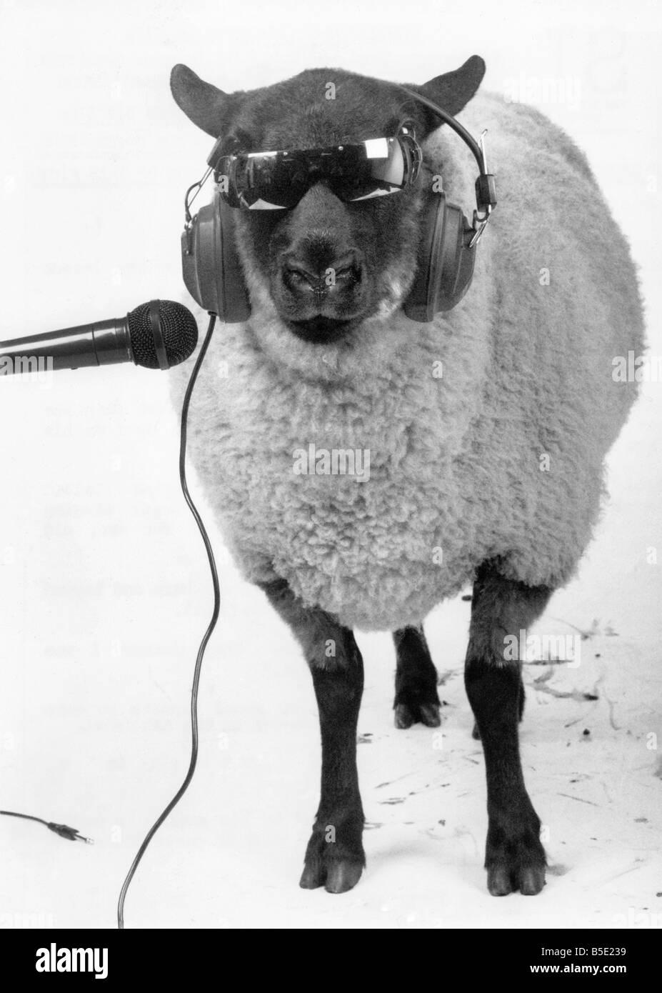 una-pecora-indossando-occhiali-da-sole-e-auricolari-come-canta-in-un-microfono1310circa-1985-b5e239.jpg